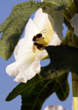 Bumblebee in a mallow flower on a sunny day. Bumblebee in a mallow flower in the garden on a sunny day Royalty Free Stock Images