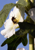 Bumblebee in a mallow flower on a sunny day. Bumblebee in a mallow flower in the garden on a sunny day Royalty Free Stock Image