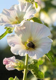 Bumblebee in a mallow flower on a sunny day. Bumblebee in a mallow flower in the garden on a sunny day Royalty Free Stock Photos