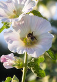 Bumblebee in a mallow flower on a sunny day. Bumblebee in a mallow flower in the garden on a sunny day Royalty Free Stock Photo
