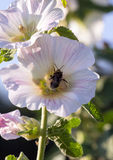 Bumblebee in a mallow flower on a sunny day. Bumblebee in a mallow flower in the garden on a sunny day Stock Image