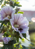 Bumblebee in a mallow flower on a sunny day. Bumblebee in a mallow flower in the garden on a sunny day Stock Photo