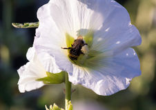 Bumblebee in a mallow flower on a sunny day. Bumblebee in a mallow flower in the garden on a sunny day Stock Images