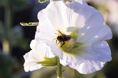 Bumblebee in a mallow flower on a sunny day. Bumblebee in a mallow flower in the garden on a sunny day Stock Photos
