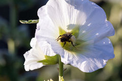 Bumblebee in a mallow flower on a sunny day. Bumblebee in a mallow flower in the garden on a sunny day Stock Photography