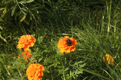 Bumblebee on a Marigold. Cute bumblebee on a Marigold Royalty Free Stock Photography