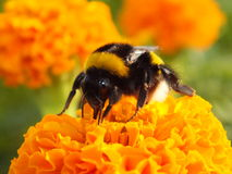 A bumblebee on a marigold Royalty Free Stock Photo