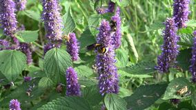 Bumblebee on  medical anise hyssop flowers stock video