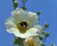 Bumblebee in the middle of the flower Stock Photo