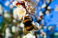 Bumblebee minding his own business on a blossoming apricot royalty free stock photography