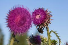 Bumblebee on musk thistle (Carduus nutans) Stock Photos