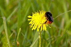 Bumblebee na żółtym dandelion zdjęcia stock