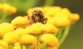 Bumblebee na żółtym kwiacie Zdjęcia Royalty Free
