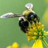 Bumblebee na żółtym wildflower Zdjęcie Stock
