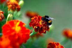Bumblebee na Afrikaner kwiacie Fotografia Royalty Free
