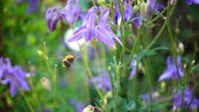 Bumblebee na aquilegia kwiacie zbiory