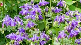 Bumblebee na aquilegia kwiacie zbiory wideo