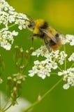 Wczesny bumblebee Obraz Royalty Free