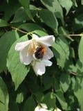 Bumblebee na białym kwiacie Fotografia Royalty Free