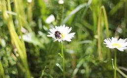 Bumblebee na chamomile Obrazy Stock