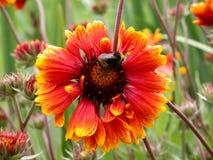 Bumblebee na czerwonym kwiacie Zdjęcia Royalty Free