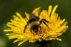 Bumblebee na dandelion obraz stock
