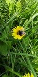 Bumblebee na dandelion w s?o?cu zdjęcia stock