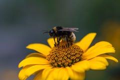 Bumblebee na Fałszywym słoneczniku, słoneczny dzień obrazy royalty free