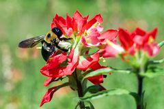 Bumblebee na Indiańskim Paintbrush Obrazy Stock