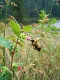 Bumblebee na kwiacie Obrazy Royalty Free