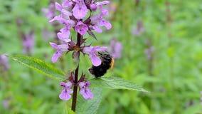 Bumblebee na kwiacie, Zdjęcie Royalty Free