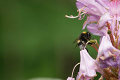 Bumblebee na kwiacie Zdjęcie Stock