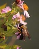 Bumblebee na kwiatach Zdjęcia Stock