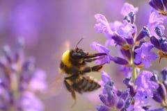Bumblebee na lawendowym kwiacie fotografia stock