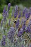 Bumblebee na lawendzie Obrazy Stock