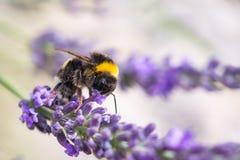 Bumblebee na lawendzie zdjęcie stock