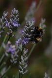 Bumblebee na lawendzie Zdjęcia Stock