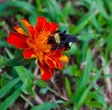 Bumblebee na nagietku obraz stock