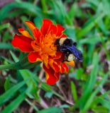 Bumblebee na nagietku fotografia stock