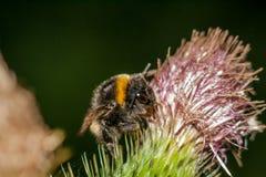 Bumblebee na oszczepowym osecie Zdjęcie Royalty Free