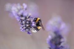 Bumblebee na Pięknym Lawendowym kwitnieniu w wczesnym lecie obraz royalty free