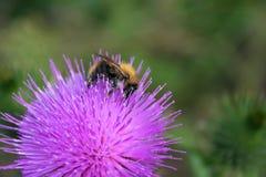Bumblebee na pojedynczym kwiacie Zdjęcie Royalty Free