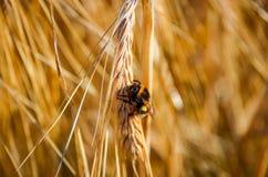 Bumblebee na pszenicznych cierniach Zdjęcie Royalty Free