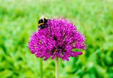 Bumblebee na purpura kwiacie Zdjęcia Royalty Free