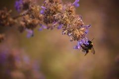 Bumblebee na purpura kwiatu zakończeniu up Zdjęcie Stock