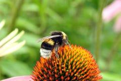 Bumblebee na roślinie, Lithuania zdjęcie stock