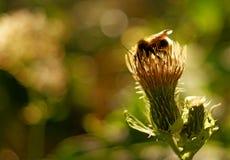 Bumblebee na roślinie Obrazy Royalty Free