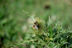 Bumblebee na roślinie Zdjęcie Stock