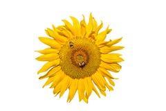 Bumblebee na słoneczniku Obrazy Royalty Free