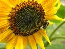 Bumblebee na słoneczniku Fotografia Stock